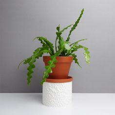 Epiphyllum anguliger | Sägeblattkaktus | Artikelnummer: KS-Epiph