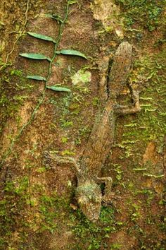A leaf-tailed gecko camouflaged on a mossy tree trunk in the rainforest of the Masoala Peninsula National Park, north east Madagascar. Alex Hyde