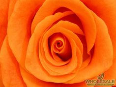 Rose Color Orange