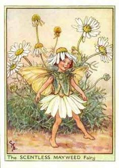 The SCENTLESS MAYWEED Fairy ~ Cicely Mary Barker ~