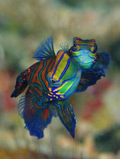 mating mandarin fish