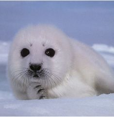 The Harp Seal is also called the saddleback seal. The pup or baby seal has a yellow-white coat at birth but after 3 days,the coat turns white for about 12 days. Harp Seal Pup, Baby Harp Seal, Baby Seal, Baby Animals Pictures, Cute Baby Animals, Funny Animals, Happy Animals, So Cute Baby, Cute Babies