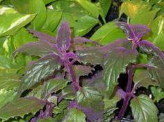Gynura aurantiaca - Plant Finder