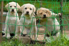 Three cute yellow labs