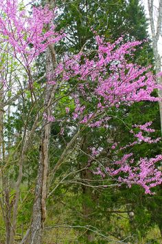 Eastern Redbud  - My Favorite Tree:)