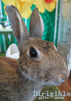 A taxidermy New Zealand rabbit is the perfect Easter gift for that person who has everything!