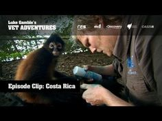 Sweetie the monkey from Costa Rica has fallen for the big blonde ape, she just loves the way he sprays her with blue antibacterial spray. Scene from TV series Luke Gamble's Vet Adventures. Luke Luke, Cute Monkey, Day Trading, Trading Strategies, Just Love, Tv Series, Medicine, Adventure, Genesis 1