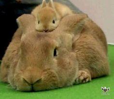 Cute Baby Rabbit On It's Parents Head