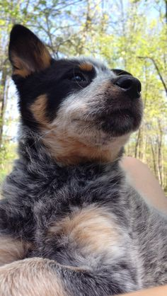 Australian Cattle Dog (Blue Heeler) Dog