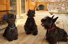 Sweet Little Boys    #Scottie #Dog #Blogs #Photography