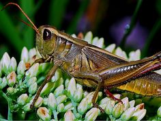 ASTONISHING BENEFITS OF GRASSHOPPERS.   You might ponder ~ ~ ~ is grasshopper…