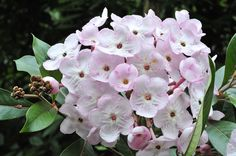 Luculia Pinceana (looks similar to a Hydrangea)  Large, shade loving shrub with lush evergreen foliage and beautifully scented pink flowers in Winter.