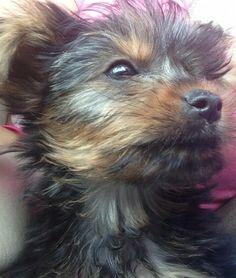 Lost Dog - Yorkshire Terrier Yorkie - Poinciana, FL, United States