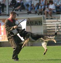 #Schutzhund #training wish I still belonged .  I loved it & so did my GS.