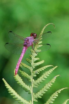 Light purple dragonfly