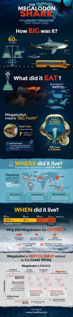 Megalodon Shark Largest Predator Ever - Jurasic Infographic #prehistoric More