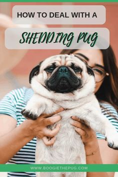 How To Deal With A Shedding Pug If you're new to the pug life, then you might be surprised to learn that pugs shed an insane amount. Here are tips to help manage pug shedding. Black Pug Puppies, Lab Puppies, Pug Dogs, Stop Dog Shedding, Pug Information, Living With Dogs, Pet Clinic, Animal Antics, Mexico City
