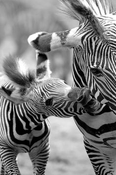 "ah the striped zebra, indeed the proper way to pronounce the name of this black and white striped animal is "" Zeh-Bruh"". Zebras, Beautiful Creatures, Animals Beautiful, Baby Animals, Cute Animals, Wild Animals, Tier Fotos, Foto Art, Mundo Animal"