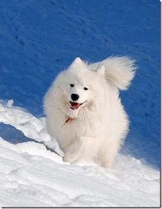 Samoyed Dogs, Our Best Friends | English Russia | Page 3 *Climbing dawg*