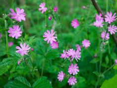 Red Campion (Silene dioica) - 12 Types of Woodland Wildflowers on HGTV