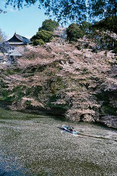 Cherry trees in full bloom, Chidorigafuchi, Tokyo, Japan