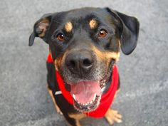 TO BE DESTROYED 8/14/14 Manhattan Center -P  My name is SPIKEY. My Animal ID # is A1009455. I am a male black and brown rottweiler mix. The shelter thinks I am about 2 YEARS  I came in the shelter as a STRAY on 08/05/2014 from NY 11418, owner surrender reason stated was STRAY. https://www.facebook.com/Urgentdeathrowdogs/photos/a.611290788883804.1073741851.152876678058553/852898881389659/?type=1