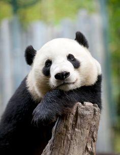 sdzoo:   Giant Panda Yun Zi by Mollie Rivera
