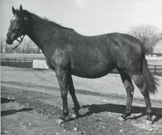 NATALMA by Native Dancer - Almahmoud by Mahmoud   - Her claim to fame is foaling the mighty NORTHERN DANCER - a horse who's dynasty is well known!