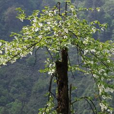 small dove tree - Google Search