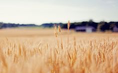 1680x1050 px wheat picture 1080p windows by Jamar Murphy