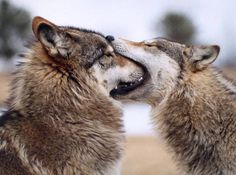 Wolf kisses!