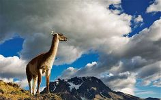 A guanaco stands on a hillside in Torres del Paine National Park in Chile