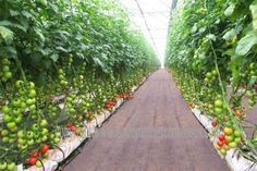 commercial greenhouse   ... main page hobby greenhouses commercial greenhouses school greenhouses