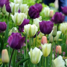seasonalwonderment:  Tulips