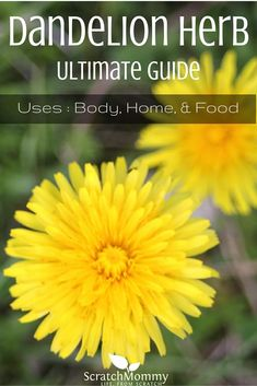 Learn how to use dandelion for your home, body, AND in food (it is WAY more than just a 'weed' in your yard, it's a multipurpose beauty)! Dandelion Uses, Dandelion Recipes, Dandelion Leaves, Dandelions, Dandelion Plant, Healing Herbs, Medicinal Plants, Natural Medicine, Herbal Medicine