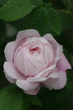 Antonia d'Ormois,    France before 1835. Gallica rose.  Mid shade of pink with a 7/10 fragrance.