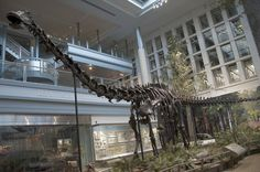 Diplodocus, CM 84, the Carnegie Museum of Natural History, Pittsburgh. Dinosauria, Saurischia, Sauropoda, Diplodocoidea, Diplodocidae. Auteur : ScottRobertAnselmo, 2011.