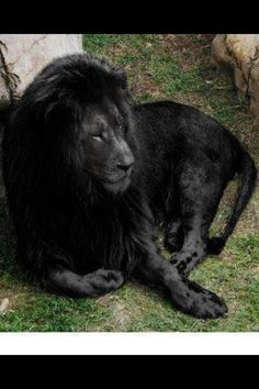 The last black lion