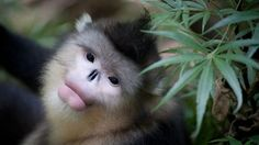 Few years ago, they discovered a new species of monkey in Myanmar and feature snub-nose and sneezing during rainy days, according to the shared information of the National Geographic. Golden Lion Tamarin, Golden Lions, Monkey Species, Ape Monkey, Ombre Highlights, Primates, My Animal, Funny Animals, Wild Animals
