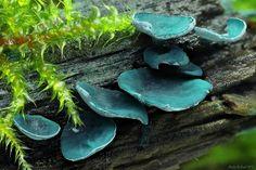 Chlorociboria aeruginascens | Flickr - Photo Sharing!