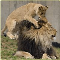 I'm going to sleep with the lions @ the National Zoo!