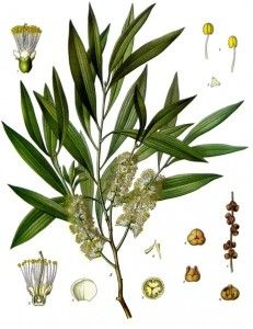 paperbarks (Melaleuca leucadendron) A natural treatment for diarrhea. Scientific studies have shown that tea tree oil made from Melaleuca alternifolia is a highly effective topical antibacterial and antifungal, although it may be toxic when ingested internally in large doses or by children.
