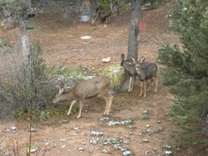 The 4 month old fawns learning from a wild doe