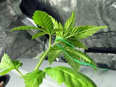 Get a summary of all the most common plant training techniques that growers use to increase their cannabis yields indoors! Growing Weed, Cannabis Growing, Cannabis Plant, Short Plants, Small Plants, Air Plants, Marijuana Facts, Plant Cuttings, Hydroponics