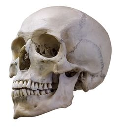 It's the Skull, Stupid (aka: using a drawing eye to put POC in your fiction) Skull Reference, Anatomy Reference, Pose Reference, Anatomy Drawing, Anatomy Art, Life Drawing, Figure Drawing, Skull Model, Skull Anatomy