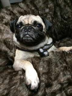 What a  handsome Pug!
