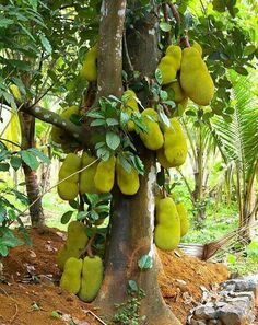 Jackfruit Tree, from Southeast Asia. The largest, heaviest tree-borne fruit in the world, weighing up to 80 pounds. My tree is only about tall, so it only has one or two fruits per season. Never stand under a jackfruit tree with ripening fruit. Exotic Fruit, Tropical Fruits, Fruit Trees, Trees To Plant, Jackfruit Tree, Flora, Dame Nature, Nature Tree, Tree Forest