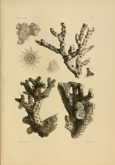 v.7:no.1 (1880) - Report on the Florida reefs, - Biodiversity Heritage Library