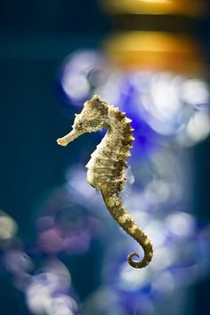 seahorses... fuhevah