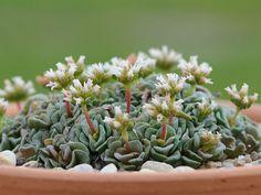 Crassula 'Celia' | World of Succulents